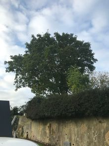 Large Walnut Tree - Sympathetic Crown Reduction (1 of 2)