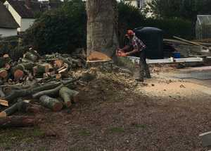 Large tree felling with chainsaw, and technical dismantles
